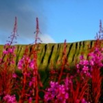 Ben Bulben flowers